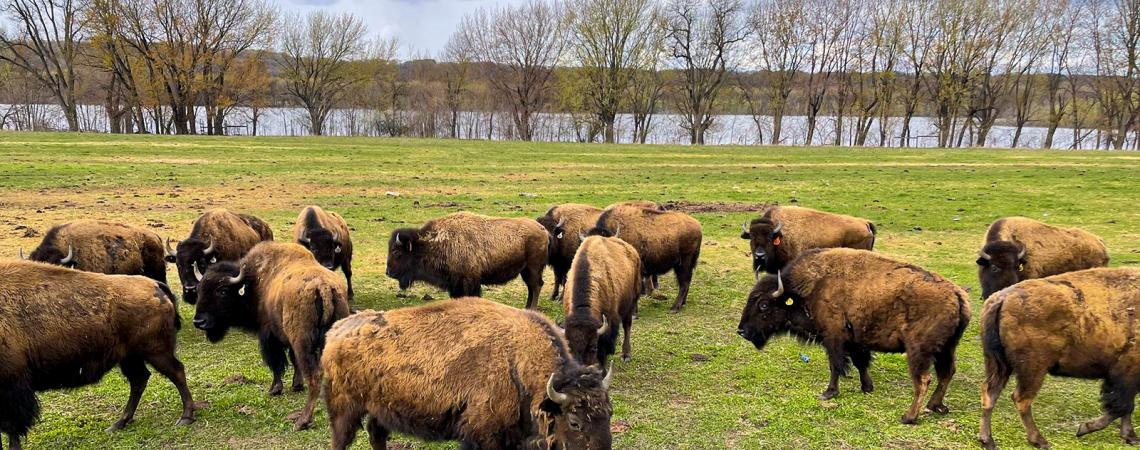 A small herd of bison graze in a grassy field. Trees line a river in the background.